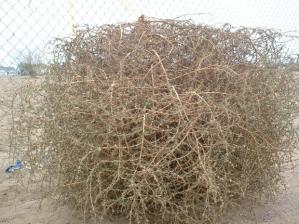 tumbleweed_about_a_meter_tall