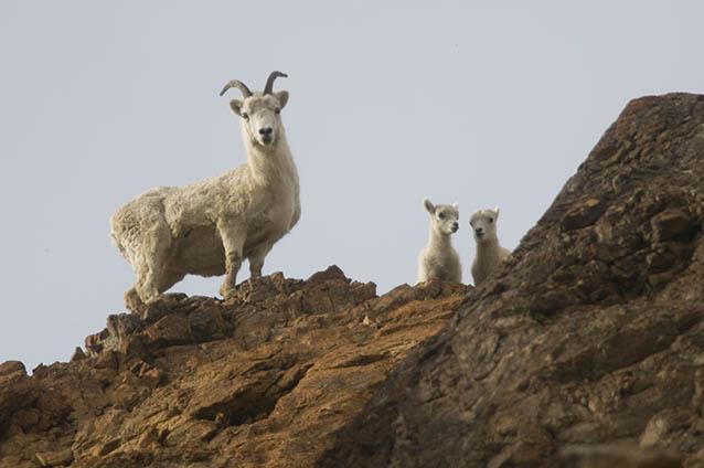 Dall Sheep near Toklat River.