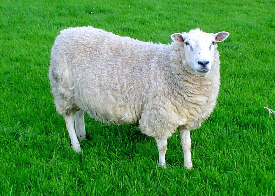 lleyn_sheep