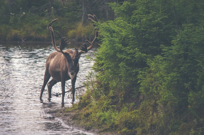 nature-animal-river-deer_282403127109029